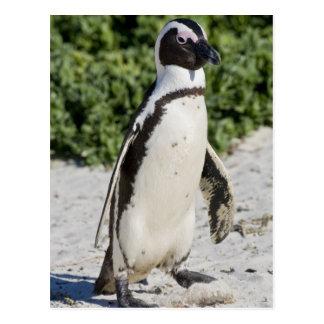 Pingouin africain, autrefois connu sous le nom cartes postales