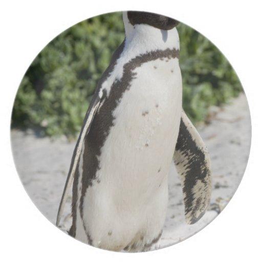 Pingouin africain, autrefois connu sous le nom d'â assiette pour soirée