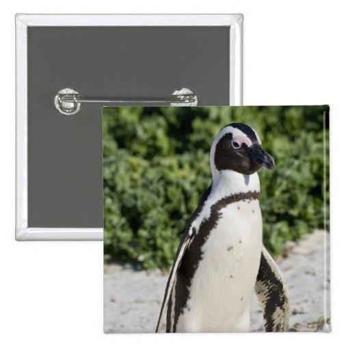 Pingouin africain, autrefois connu sous le nom d'â badges