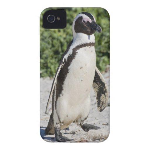 Pingouin africain, autrefois connu sous le nom d'â coque Case-Mate iPhone 4