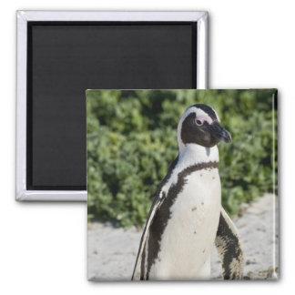 Pingouin africain, autrefois connu sous le nom d'â magnet carré