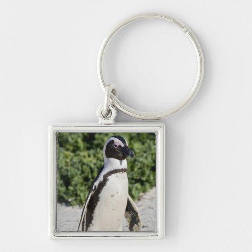 Pingouin africain, autrefois connu sous le nom d'â porte-clés