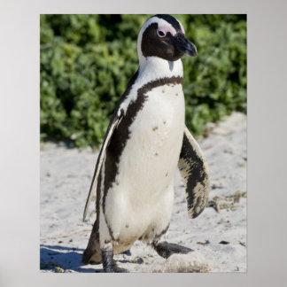Pingouin africain, autrefois connu sous le nom d'â posters