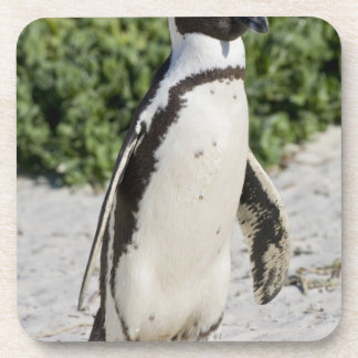 Pingouin africain, autrefois connu sous le nom d'â sous-bocks