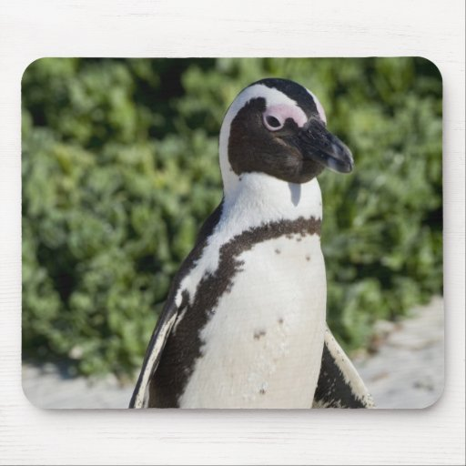 Pingouin africain, autrefois connu sous le nom d'â tapis de souris