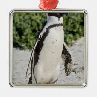 Pingouin africain, autrefois connu sous le nom ornement carré argenté