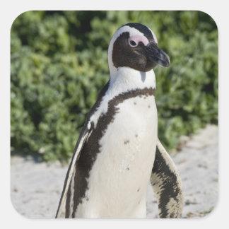 Pingouin africain, autrefois connu sous le nom sticker carré