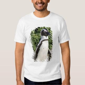 Pingouin africain, autrefois connu sous le nom t-shirt