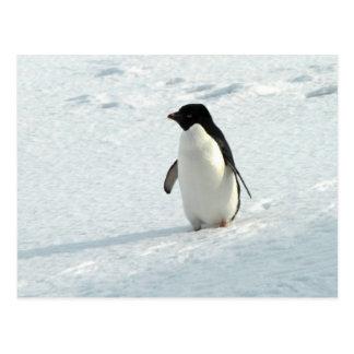 Pingouin d'Adelie Cartes Postales
