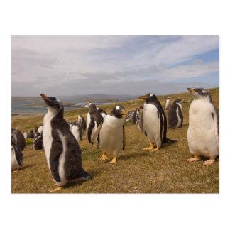 pingouin de gentoo, Pygoscelis Papouasie, colonie Carte Postale