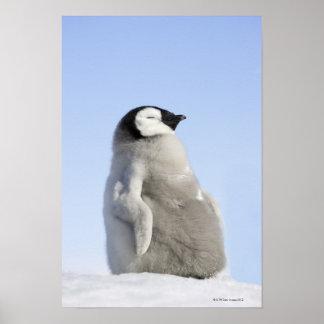 Pingouin d'empereur de bébé, île de colline de nei poster