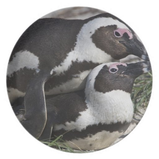 Pingouins africains, autrefois connus sous le nom  assiettes