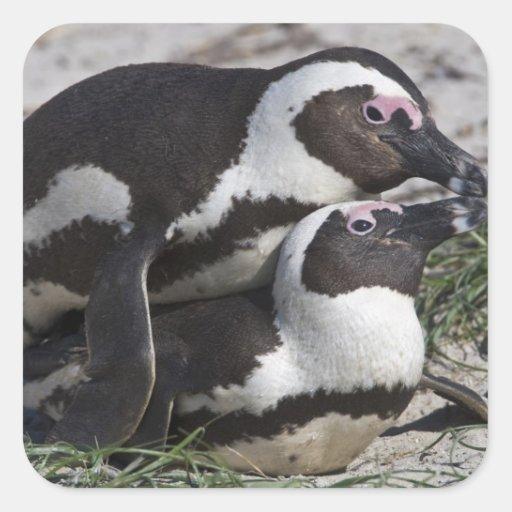 Pingouins africains, autrefois connus sous le nom autocollants carrés