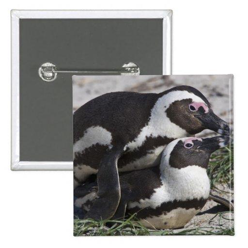 Pingouins africains, autrefois connus sous le nom  badge