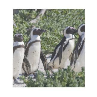 Pingouins africains, autrefois connus sous le nom  blocs mémo