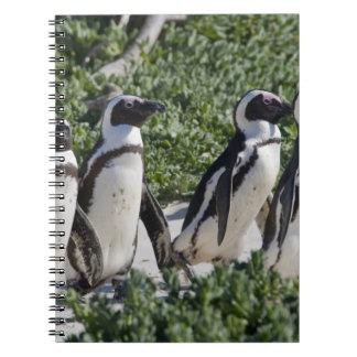 Pingouins africains, autrefois connus sous le nom  carnet à spirale