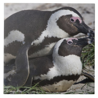 Pingouins africains, autrefois connus sous le nom  grand carreau carré