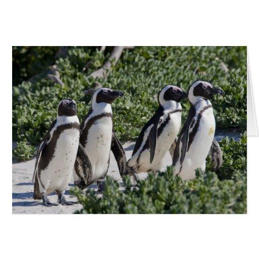 Pingouins africains, autrefois connus sous le nom  cartes de vœux