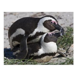 Pingouins africains, autrefois connus sous le nom carte postale