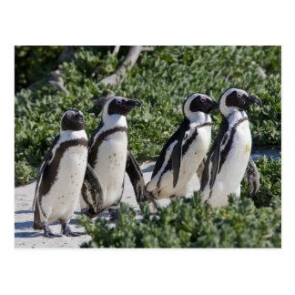 Pingouins africains, autrefois connus sous le nom cartes postales