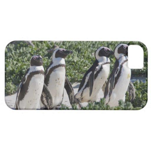 Pingouins africains, autrefois connus sous le nom  iPhone 5 case