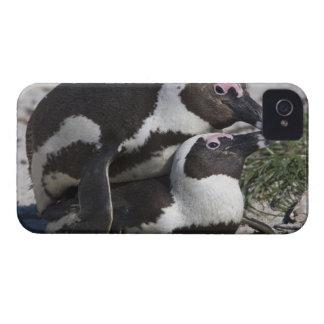 Pingouins africains, autrefois connus sous le nom coque iPhone 4
