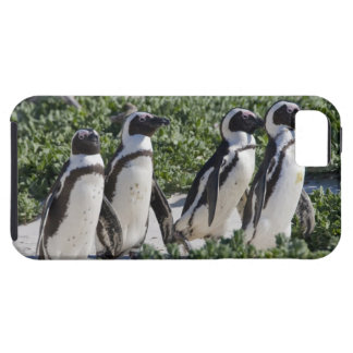 Pingouins africains, autrefois connus sous le nom coque iPhone 5