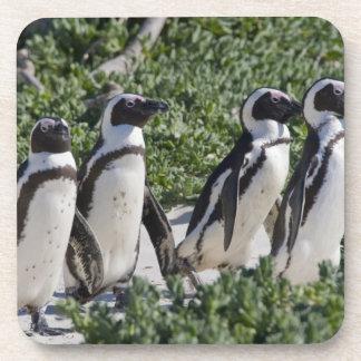 Pingouins africains, autrefois connus sous le nom  dessous-de-verre