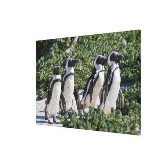 Pingouins africains, autrefois connus sous le nom  impression sur toile