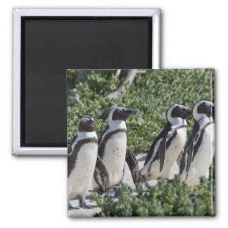 Pingouins africains, autrefois connus sous le nom  magnet carré