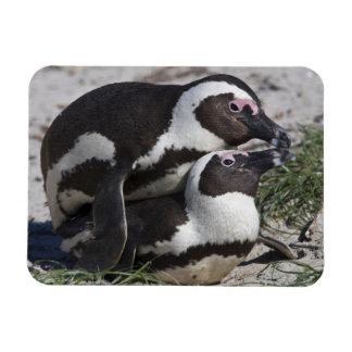 Pingouins africains, autrefois connus sous le nom  magnets en vinyle