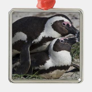 Pingouins africains, autrefois connus sous le nom ornement carré argenté