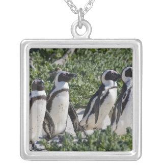 Pingouins africains, autrefois connus sous le nom pendentif carré