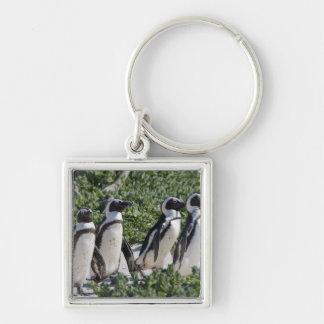 Pingouins africains, autrefois connus sous le nom  porte-clé carré argenté