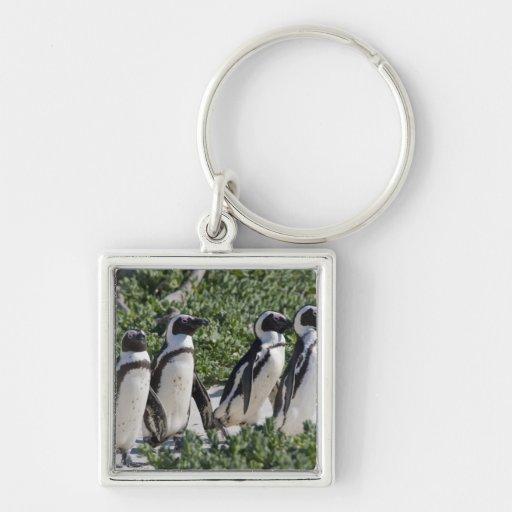 Pingouins africains, autrefois connus sous le nom  porte-clefs