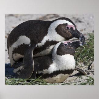 Pingouins africains, autrefois connus sous le nom  posters