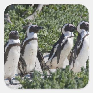 Pingouins africains, autrefois connus sous le nom sticker carré