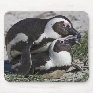Pingouins africains autrefois connus sous le nom tapis de souris
