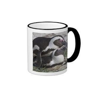 Pingouins africains, autrefois connus sous le nom  mug