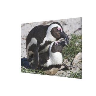 Pingouins africains, autrefois connus sous le nom toile tendue sur châssis
