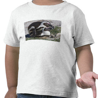 Pingouins africains, autrefois connus sous le nom t-shirts