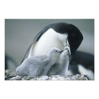 Pingouins de jugulaire, Pygoscelis Antarctique), Impression Photographique