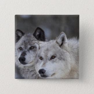 Pin's Loups (lupus de Canus) | Yellowstone occidental