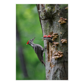 Pivert femelle de Pileated au trou de nid Posters