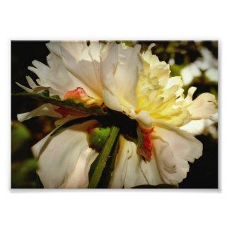 pivoine blanche photos d'art