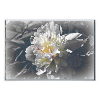 pivoine blanche photo d'art