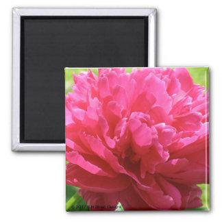 Pivoine rose magnet carré