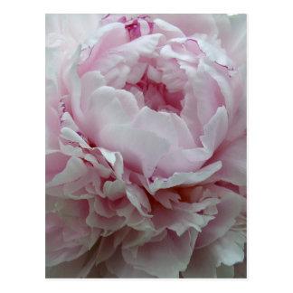 Pivoine rose pelucheuse carte postale