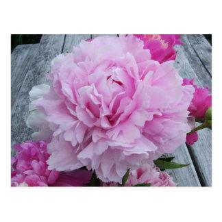 Pivoines roses/pivoine carte postale