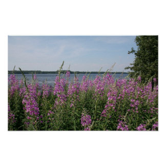 Plage de Fireweed Posters